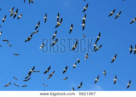 Flock Of Pelicans In The Sky