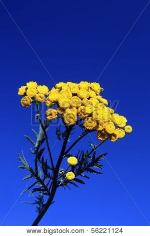 bright yellow tansy flower under blue sky