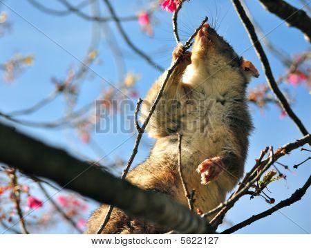 Possum on a Tree