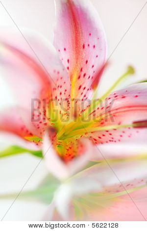 Fresh Pink Lily