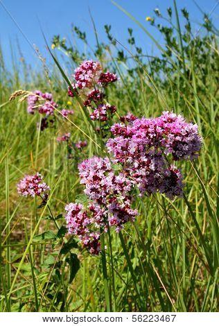 origanum vulgare medicine herb in field