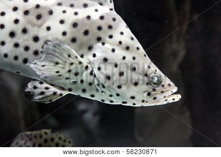 Tropical fish Panther grouper - Cromileptus altivelis