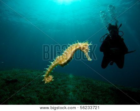 Seahorse with Diver Silhouette