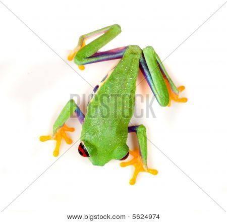 Red Eyed Frog On White