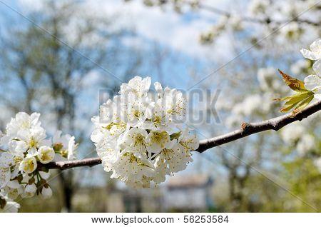 Bushy flowers of the cherry tree