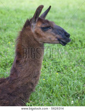 Head shot of brown llama, in profile