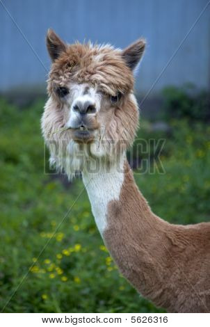 Head shot of brown and white alpaca
