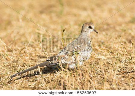 Namaqua Dove (oena Capensis)