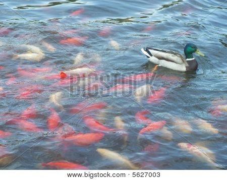 Duck swimming in koi pond