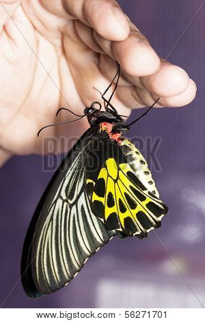 Common Birdwing Butterfly Hanging On Hand