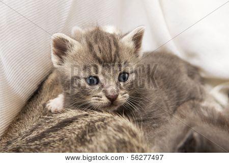 Kitten Babies