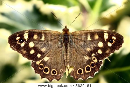 gesprenkelt Holz Schmetterling (Pararge Aegeria)