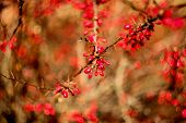 stock photo of barberry  - red berries of barberry on the bush - JPG