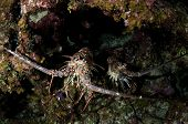 image of crevasse  - Two spiny lobsters hide in a coral crevasse - JPG