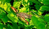 stock photo of locust  - Locusts eat of green leaves of plants - JPG