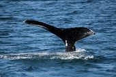 foto of whale-tail  - Tail of the whale in the Atlantic ocean - JPG