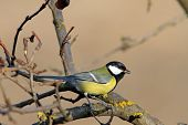 pic of great tit  - great tit  - JPG
