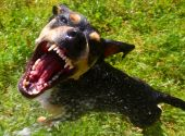 picture of dog teeth  - A hostile dog tries to maul the camera - JPG