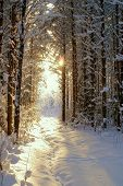 pic of coniferous forest  - Sun beam in dark winter wood - JPG