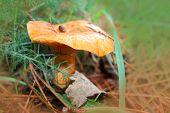 foto of yellow milk cap  - Mushrooms   - JPG