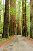 stock photo of sequoia-trees  - Redwood trees along the Avenue of the Giants Hwy 101 in the Northern California Coastline - JPG