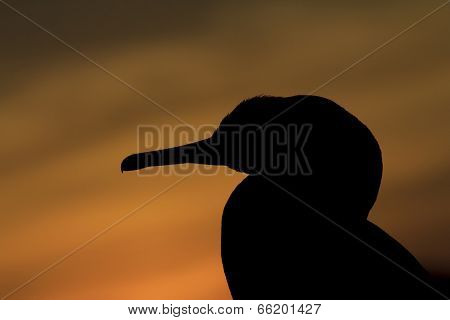 Cormorant bird silhouette at sunset