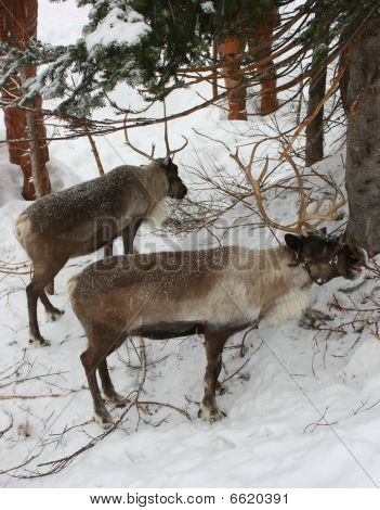 Two reindeer, Rangifer tarandus, portrait view