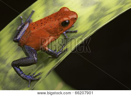 poison frog Costa Rica, Dendrobates or Oophaga pumilio a red and blue tropical amphibian from the rain forest kept in a vivarium or terrarium