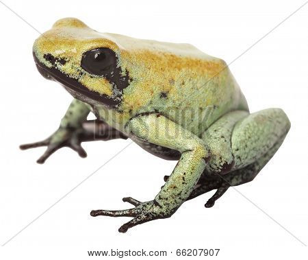 Poison arrow frog Phyllobates terribilis from Colombia a very poisonous and toxic animal, its toxines are used on darts amphibian isolated on white