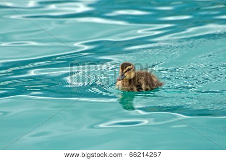 Young Small Duck