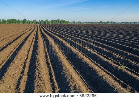 Potato field in spring
