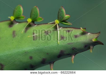 Bryophyllum daigremontianum. Young plants on leaf.