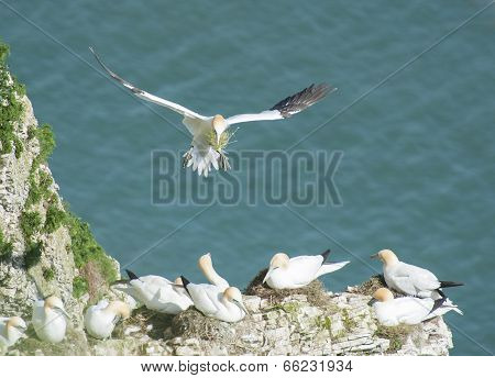 Nesting Gannets On A Cliff Headland