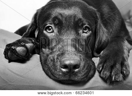 Chocolate Labrador Retriever Dog