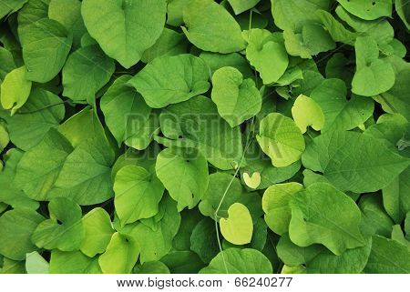 Leaves Of Aristolochia