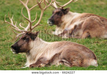 Closeup Of Reindeers