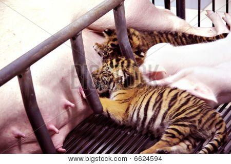 tiger suckling pig