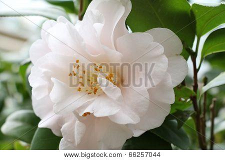 white flower,Camellia tea flower