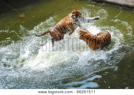 Tigers Play Fighting In Water