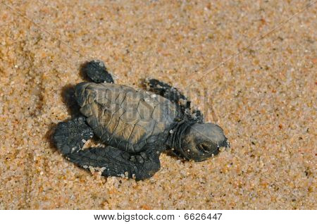 hatched leather back sae turtle