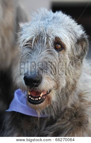 Irish Wolfhound Portrait