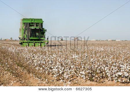 Cotton Harvest