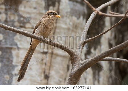A Yellow-billed Shrike (corvinella Corvina) Perched In Front Of A Baobab Tree