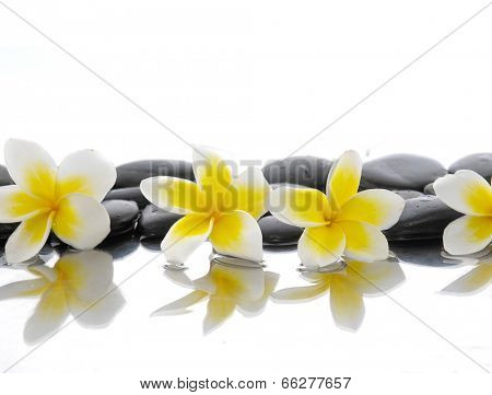 Still life with four frangipani on wet zen stones
