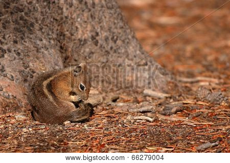 Squirrel Grooming Tail