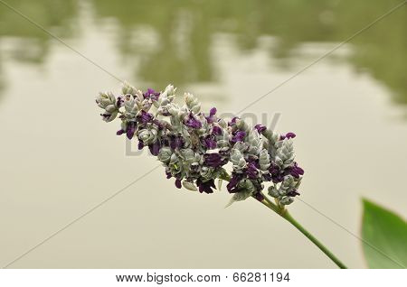 Hardy canna (Thalia dealbata )