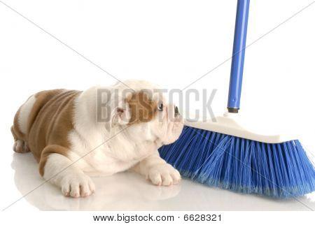 Bulldog Puppy And Broom