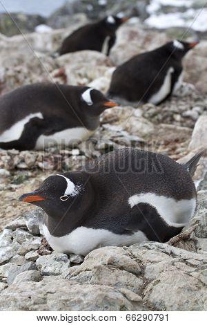 Gentoo Penguin Females Sitting On Nests In Colonies