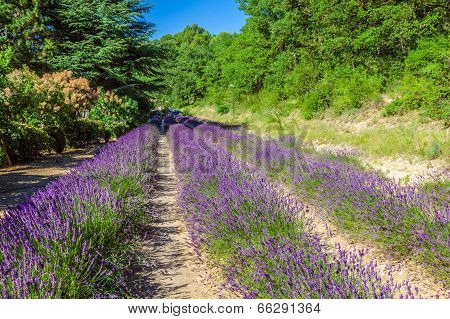 Provence - Lavender Field In The Gordes ,france