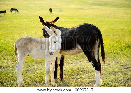Two Burros